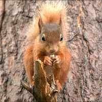 Red Squirrel - Cairngorms_DSC7535C