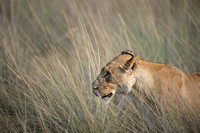 Lioness in grass 2