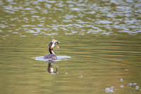 Grebe with fish 2
