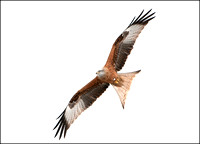 Red Kite 8083a