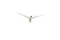 Angel Arctic Tern